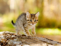 Little kitten hunting in forest Royalty Free Stock Photography