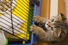 Free Little Kitten Hunting Hamster Royalty Free Stock Photo - 2010075
