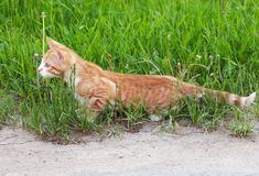 Little kitten hunting and hiding in grass Royalty Free Stock Photography
