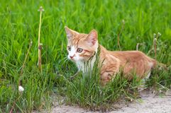 Little kitten hunting Royalty Free Stock Photos