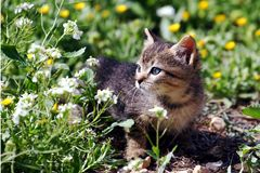 Free Little Kitten In A Sunny Day. Stock Images - 106555394