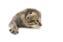 The little kitten isolated on white Stock Photography
