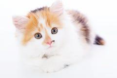 Little kitten isolated on white background. Tabby cat baby Stock Image