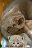 Little Kitten And Its Mother Stock Images