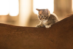 Little kitten kitty cat animal on horse horseback. Little cute kitten kitty cat pet animal on horse horseback stock photos