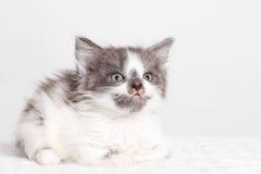 Little kitten licked Royalty Free Stock Photo