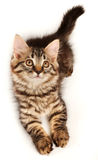 Little kitten looking up Stock Image