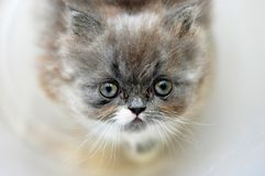 Little kitten looking at you. Cute gray fluffy little persian kitten looking adorable and sweet with white whiskers stock photo