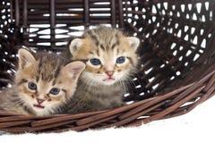 Little kitten looks Stock Image