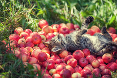 Little kitten lying on the back on red apples Royalty Free Stock Photos