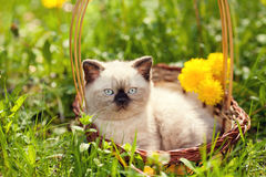 Little kitten lying in a basket with flowers royalty free stock image