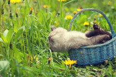Little kitten lying in a basket. And sniffing grass Royalty Free Stock Image