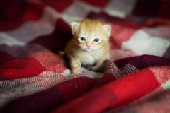 Little kitten lying on checkered red blanket Royalty Free Stock Images