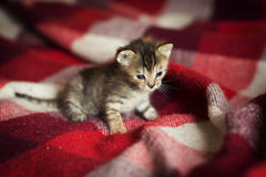 Little kitten lying on checkered red blanket Royalty Free Stock Image
