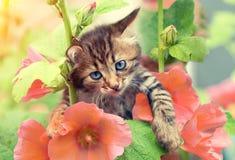 Little kitten with mallow flowers. Portrait of little kitten in the garden with mallow flowers Royalty Free Stock Image