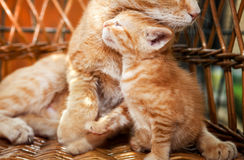 Little kitten and mother cat stock images
