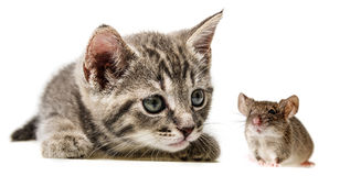 little kitten and mouse Royalty Free Stock Photography