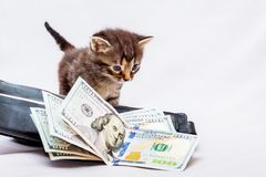A little kitten near a purse with dollars. First earnings. It`s. Time to take a profit in a successful business Stock Photo