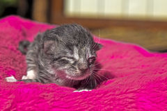 Little kitten. One-day old kitten on a red bedding Royalty Free Stock Photo