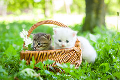 Little kitten, outdoor. Group of little kitten in a basket on the grass Royalty Free Stock Images