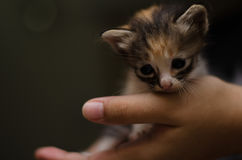 Little kitten in palm trying to escape Royalty Free Stock Photography