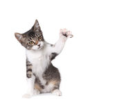 Little Kitten Pawing on White Royalty Free Stock Photos