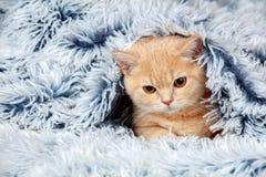 Little kitten peeking out from under the blanket Stock Photos