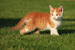 Little kitten playing on the grass Royalty Free Stock Photos