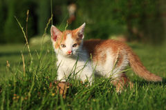 Little kitten playing on the grass Stock Image