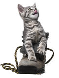 little kitten playing in a shoe Royalty Free Stock Image