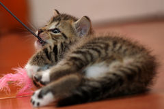 Little kitten playing Royalty Free Stock Photo