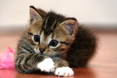 Little kitten playing Royalty Free Stock Photos