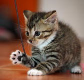 little kitten playing Royalty Free Stock Images