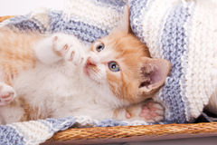 Little kitten playing in wool Stock Photography