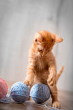 Little kitten playing with wool toys Stock Image