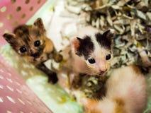Little kitten plays in the basket. Stock Photo