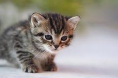 Little kitten Royalty Free Stock Photo