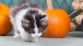 Little kitten with pumpkins Stock Photography