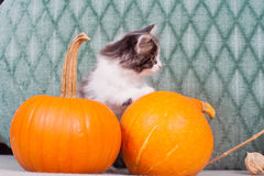 Little kitten with pumpkins Stock Images