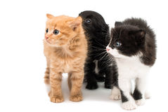 Little kitten and puppy isolated Royalty Free Stock Photos