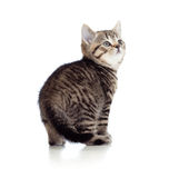 Little kitten pure breed striped british isolated Stock Photography