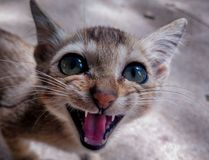 Little kitten ready to rule the world royalty free stock photo
