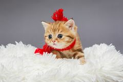 Little kitten in a red scarf. Little kitten of British marble breed in a red scarf on a fur royalty free stock photo
