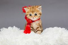 Little kitten in a red scarf. Little kitten of British marble breed in a red scarf on a fur stock photos