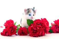 Little kitten and roses Stock Image