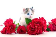 Little kitten and roses Stock Image