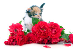 Little kitten and roses Stock Photos