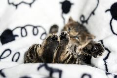 Little kitten`s feet lying on the blanket at home. Royalty Free Stock Photos