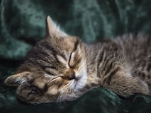 Little Kitten Scottish breed asleep in a chair Stock Photography