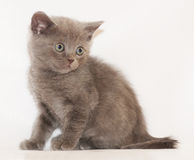 Little Kitten Scottish Straight sitting and looking away Stock Images
